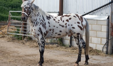 Our Appaloosa Stallion